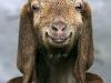 goat-lick